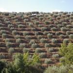 Olivenbäume zwischen den Weinbergen